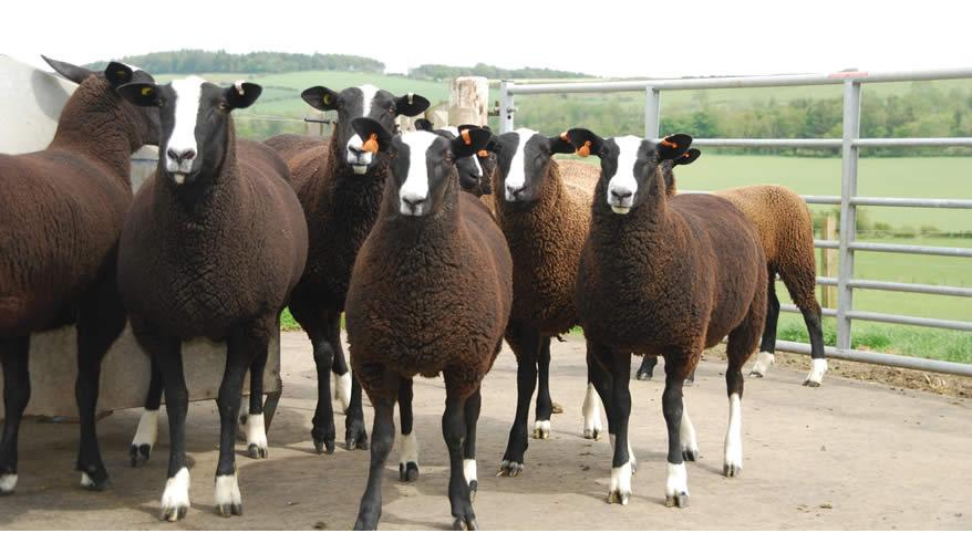Ewe & Lambs splash5