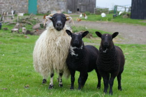 Zwartbles Blackie 30 may 013